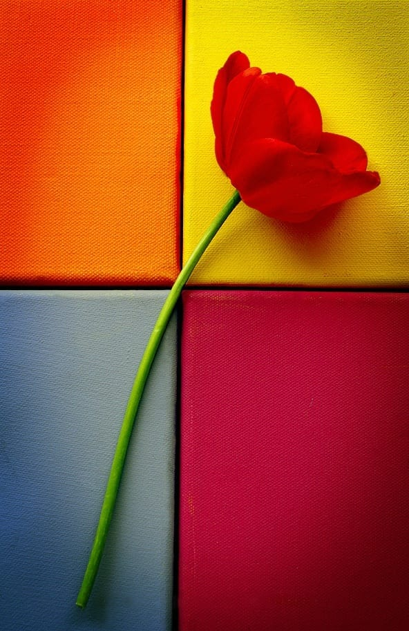 tulip_still_life_ii_by_aimeelikestotakepics Beautiful Display Pictures-50 Best Profile Pictures for Facebook